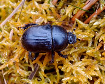 dor beetle (Geotrupes stercorarius)