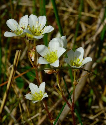 mossy saxifrage (Saxifraga hypnoides)