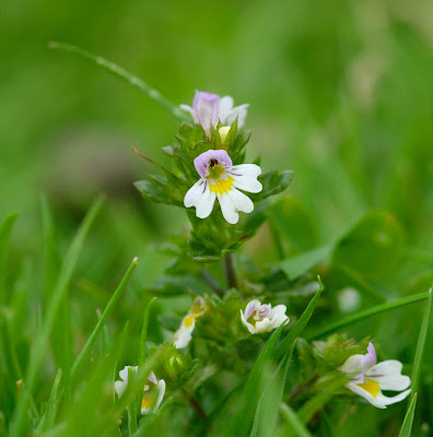 Euphrasia