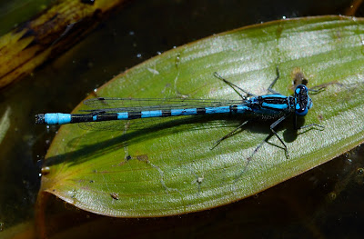 Common Blue Damselfly (Enallagma cyathigerum) male
