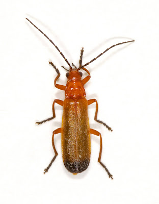 Rhagonycha fulva