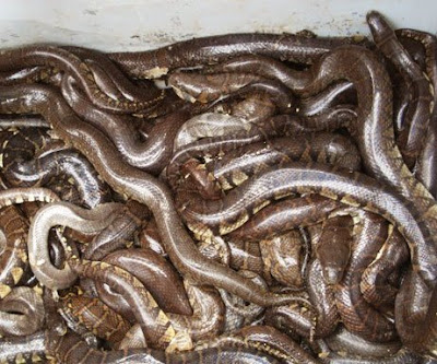 pythons in everglades. python; reptiles; wildlife