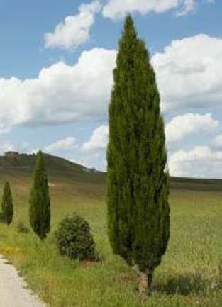 Parquealamillo encinarosa cipr s com n cipr s piramidal for Jardin cipres