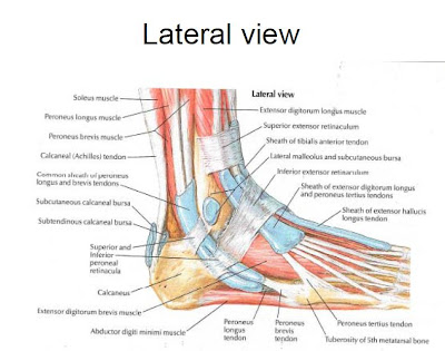 Muscles of the Foot and Ankle   Podiatry