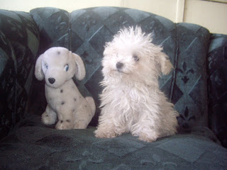 Poodle toy 4 meses