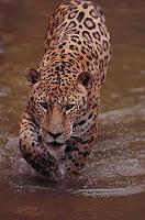 J-animal-Jaguar, j for Jaguar pictures, tiger pics, lion pictures