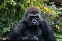 G-animal-Gorilla, G for Gorilla pictures