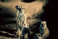 M-animal-Meerkat, M for Meerkat photos