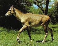 N animal - Nilgai, N for Nilgai images