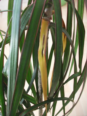dracena palme braune spitzen
