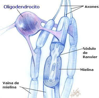external image Oligodendrocito.JPG