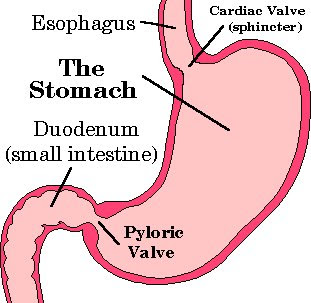 pyloricsphincter.bmp, Human Body