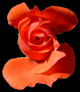 Rosa seleccionda con la herramienta de seleccion de primer plano