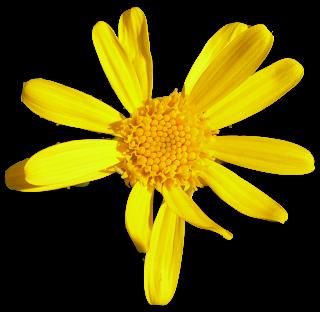 Flor amarilla tipo margarita seleccionada
