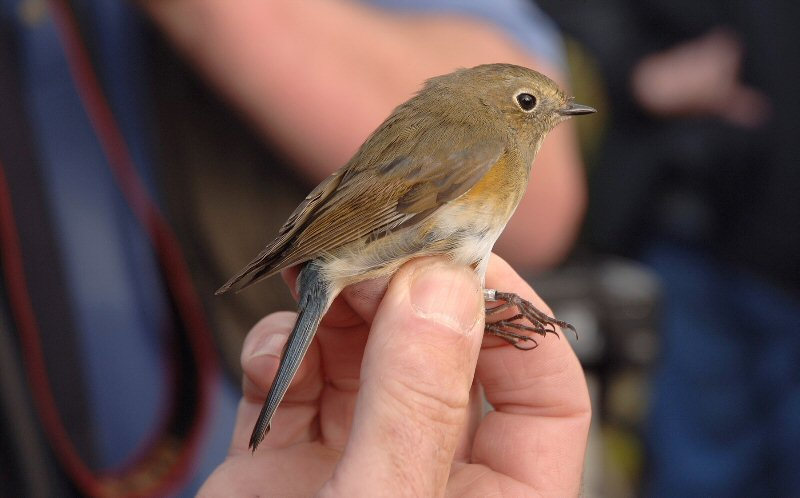 [Red-flanked+Bluetail+A+Weybourne+9.2007.JPG]