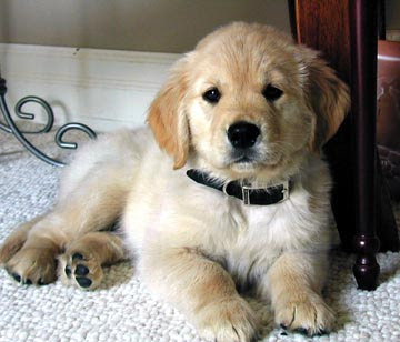 Golden Retriever – the english gentelman
