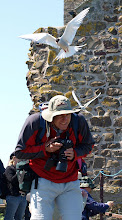 Mobbed by Arctic Terns - The farne Islands