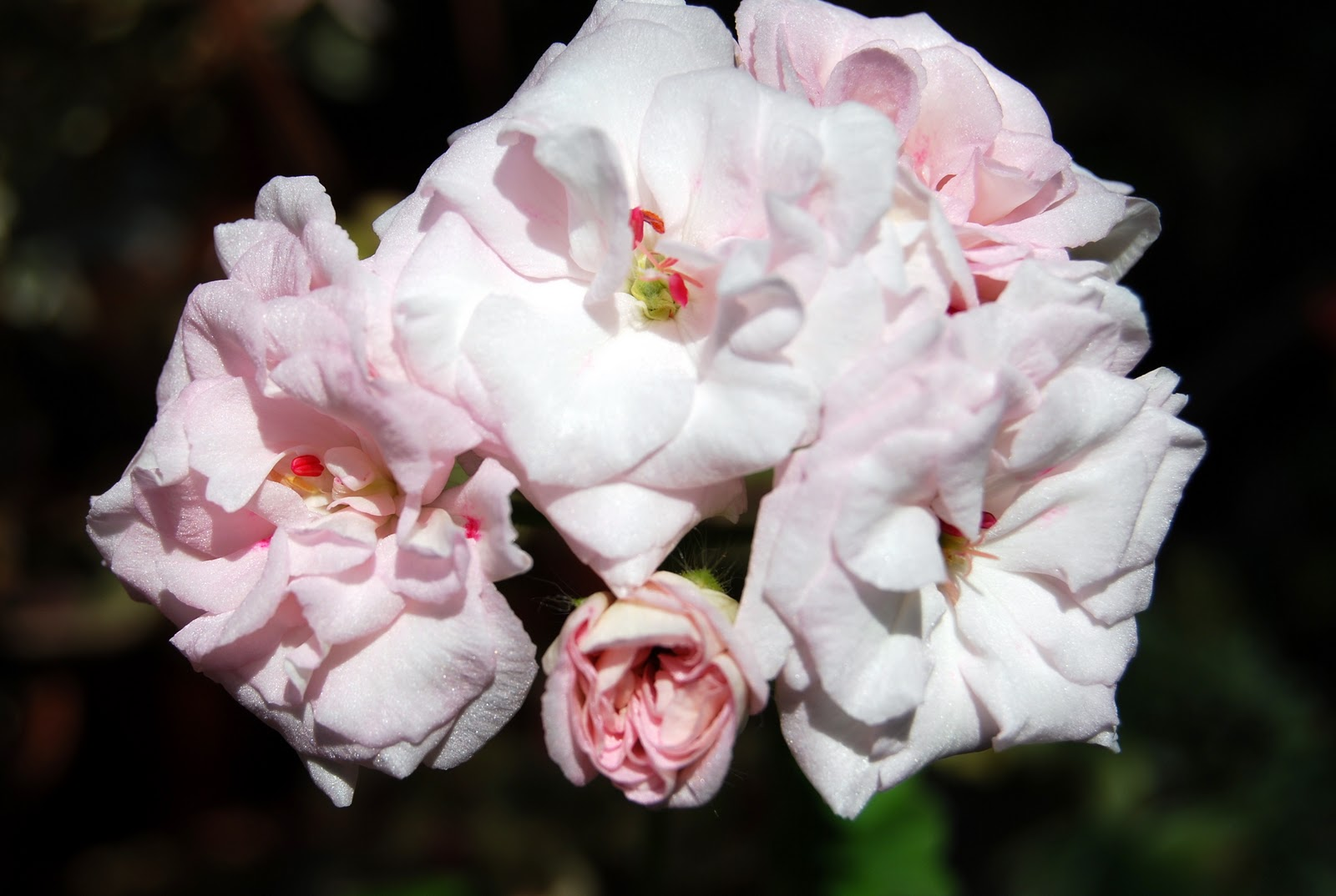 rococo пеларгония фото