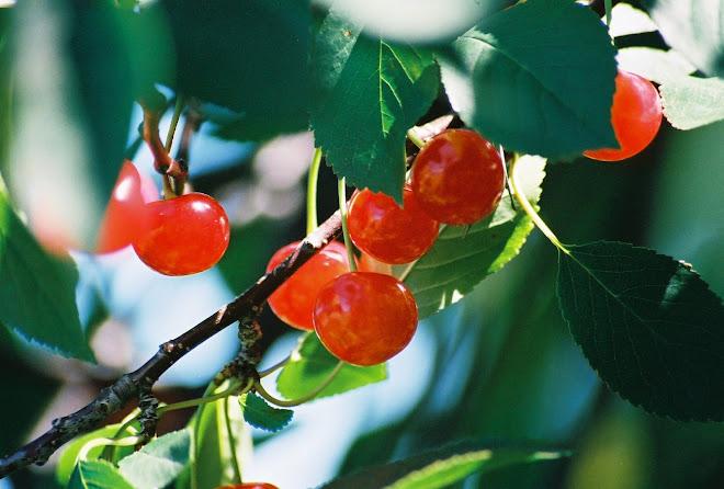 TC Cherries