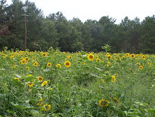 Field of Sunflowers at our farm