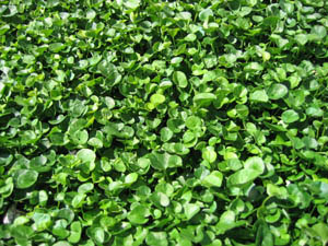 Creeping Jenny Lawn Landscape Design: How ...
