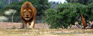 Львы в парке сафари Рамат Ган, Израиль