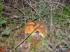 Leccinum lepidum