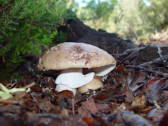 Amanita rubescens