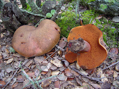 Boletus luridus