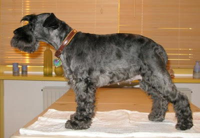 Animals: Grooming My Miniature Schnauzer's Coat For The First Time