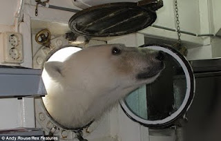 Polar bear visiting a ship kitchen off Svalbard