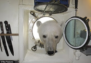 Polar bear at tourist ship off Svalbard