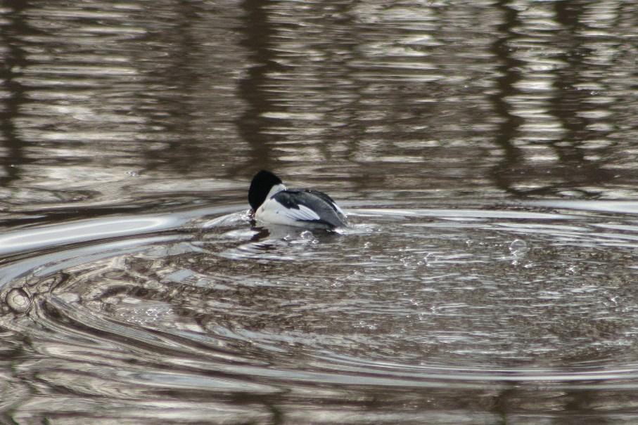 Rock paper lizard yet another duck for 7194 garden pond