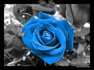 Blue Rose Wallpaper by premium-suede .