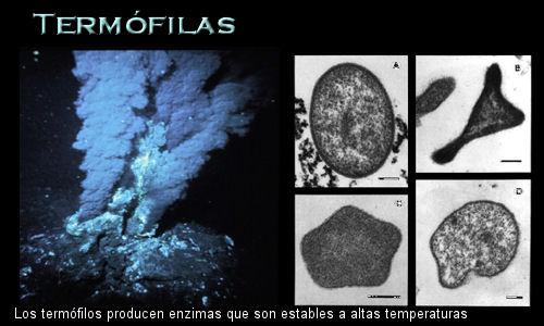 PEQUEÑA IMAGEN DE LOS MICROORGANISMOS TERMOFILOS...