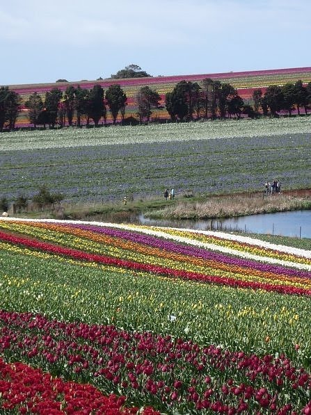 [Tulip+Fields+(6).jpg]
