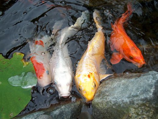 Facts around us koi carp fish colorful koi fish for Japanese ornamental fish