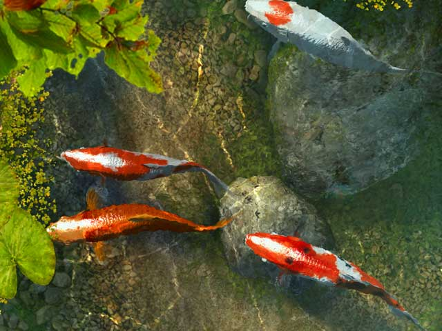 Facts around us koi carp fish colorful koi fish for Pictures of coy fish