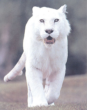 Spirit Animal � White Tiger