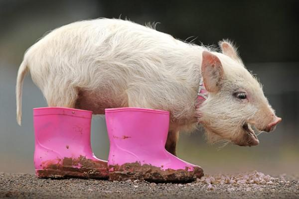 Pigs wear Boots Seen On www.coolpicturegallery.us