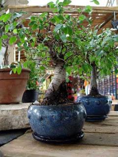 Bienvenido a mi gran morada bonsais - Como se cuida un bonsai ...