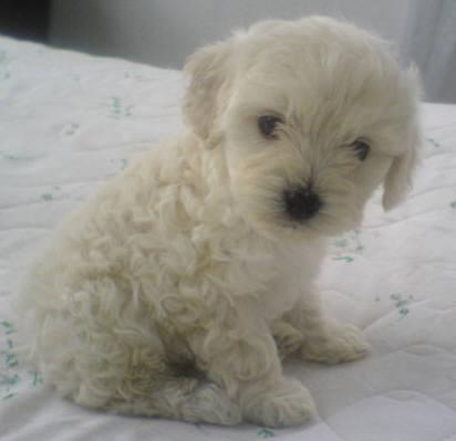 Fotos de perros pudul - Imagui
