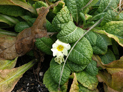 Primroses blooming Jan 05, 2010