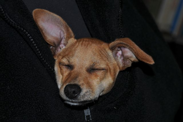 twinkie tiny dog teacup chihuahua a dog blog dec 30 2010. Black Bedroom Furniture Sets. Home Design Ideas