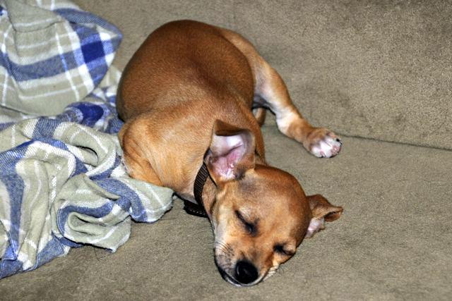 twinkie tiny dog teacup chihuahua a dog blog jan 4 2011. Black Bedroom Furniture Sets. Home Design Ideas