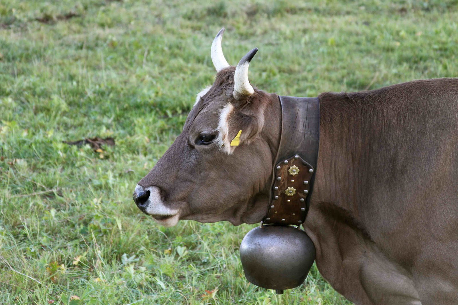 Brown swiss cows  Etsy