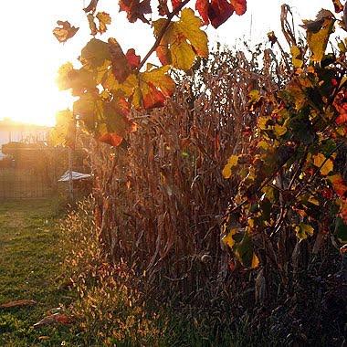 Un campo di mais al tramonto. Foto di Andrea Mangoni.