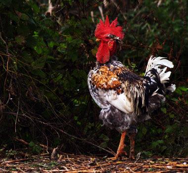 Gallo di Italiana a Collo Nudo. Allevatore Loris Traverso, foto Andrea Mangoni.