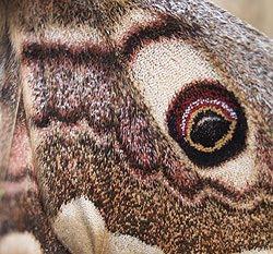 Particolare dell'ala di una femmina di Saturnia Pavoniella. Foto di Andrea Mangoni.