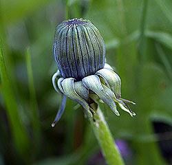 Boccioli di tarassaco (taraxacum officinale). Andrea Mangoni.